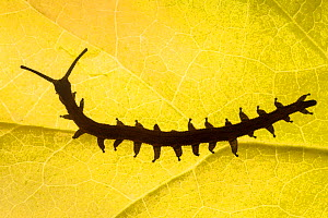 Velvet Worm (Peripatus novaezealandiae) silhouetted against a leaf, known as 'living fossils', having remained the same for approximately 570 million years, New Zealand, Captive - Alex Hyde