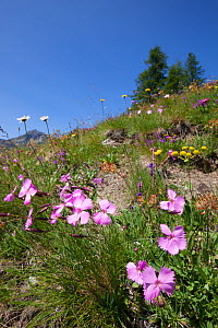 Wood Pink (Dianthus sylvestris) in foreground of flowering alpine meadow at 200m altitude, Aosta Valley, Monte Rosa Massif, Pennine Alps, Italy. July.  -  Alex Hyde
