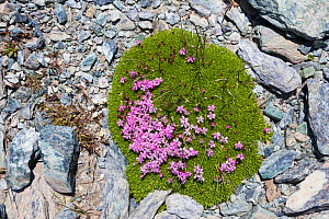 Moss Campion (Silene acaulis) growing on scree slope at 2800m altitude, Aosta Valley, Monte Rosa Massif, Pennine Alps, Italy. July. - Alex Hyde