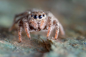 Jumping Spider (Sitticus sp.) found on a mountain ridge at 2800 metres altitude, Aosta Valley, Monte Rosa Massif, Pennine Alps, Italy  -  Alex Hyde
