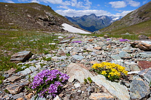 Round-leaved Penny Cress (Thlaspi rotundiflora) and yellow Whitlow Grass (Draba hoppeana) in flower on rocky plane at 2500 metres altitude in the Aosta Valley, Monte Rosa Massif, Pennine Alps, Italy.... - Alex Hyde