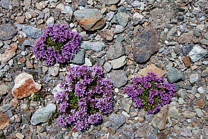 Round-leaved Penny Cress (Thlaspi rotundiflora) in flower on rocky plane at 2500 metres altitude in the Aosta Valley, Monte Rosa Massif, Pennine Alps, Italy. July - Alex Hyde