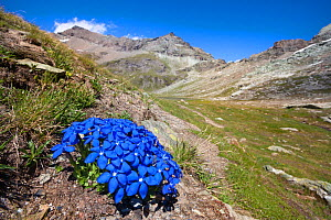 Spring Gentian (Gentiana verna) floweing on mountainside in Aosta Valley, Monte Rosa Massif, Pennine Alps, Italy. July.  -  Alex Hyde