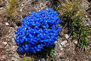 Spring Gentian (Gentiana verna) flowering on mountainside in Aosta Valley, Monte Rosa Massif, Pennine Alps, Italy. July.  -  Alex Hyde