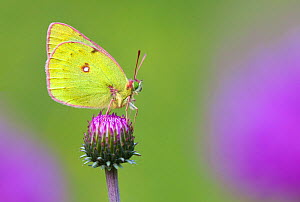 Mountain Clouded Yellow (Colias phicomone) profile portrait, Aosta Valley, Monte Rosa Massif, Pennine Alps, Italy - Alex Hyde