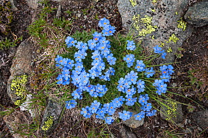 King of the Alps (Eritrichium nanum) growing on mountainside, Aosta Valley, Monte Rosa Massif, Pennine Alps, Italy. July. - Alex Hyde