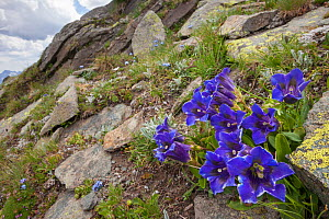 Trumpet / Stemless Gentian (Gentiana acaulis) growing amongst rocks in Aosta Valley, Monte Rosa Massif, Pennine Alps, Italy. July.  -  Alex Hyde