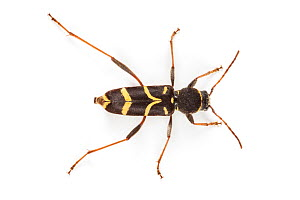Wasp Beetle (Clytus arietis), a wasp mimic. Photographed on a white background, Aosta Valley, Monte Rosa Massif, Pennine Alps, Italy. July. - Alex Hyde
