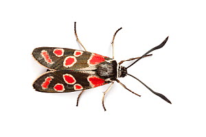Burnet Moth (Zygaena carniolica), photographed on a white background. Aosta Valley, Pennine Alps, Italy. July. - Alex Hyde