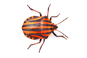 Shieldbug / Italian Striped-Bug / Minstrel Bug (Graphosoma lineatum) showing bold black and orange warning colours (aposematism) that warn of its foul taste. Photographed on a white background. Aosta... - Alex Hyde