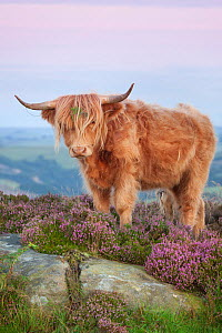 Highland cow on heather moorland, Curbar Edge, Peak District National Park, Derbyshire. August. - Alex Hyde