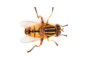 Hoverfly (Helophilus pendulus), overhead view showing Batesian wasp mimicry, photographed on a white background. Derbyshire, UK. September. - Alex Hyde