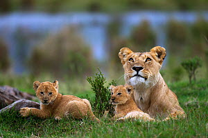 African lion (Panthera leo) lioness resting with her two playful cubs aged 1-2 months, Masai Mara National Reserve, Kenya. March  -  Anup Shah