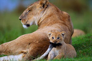 African Lion (Panthera leo) cub aged 1-2 months playing with its mother's tail, Masai Mara National Reserve, Kenya. March - Anup Shah