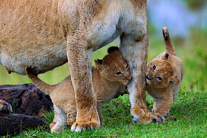 African Lion (Panthera leo) cubs aged 1-2 months playing with their mother, Masai Mara National Reserve, Kenya. March - Anup Shah