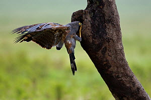 African harrier hawk (Polyboroides typus) investigating a cavity to see if there is a nest to steal eggs from, Masai Mara National Reserve, Kenya. March - Anup Shah
