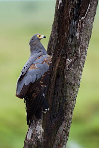 African harrier hawk (Polyboroides typus) investigating a tree trunk, looking for food, Masai Mara National Reserve, Kenya. March - Anup Shah
