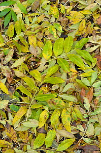 Fallen Ash (Fraxinus excelsior) leaves in autumn, Surrey, England, October.  -  Adrian Davies