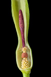 Cross section of the spathe of a Wild arum / Lords and Ladies / Cuckoo pint (Arum maculatum), showing in succession (from below) female flowers, male flowers, and sterile flowers forming a ring of hai... - Adrian Davies