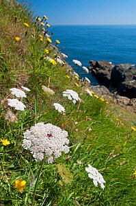 Wild carrot (Daucus carota) growing on cliff, Devon, England, UK, July  -  Adrian Davies