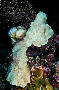 Colony of mountainous star coral (Montastraea faveolata) bleached due to thermal stress, spawning at night, showing the synchronous release of bundles of eggs and sperm, East End, Grand Cayman, Cayman... - Alex Mustard