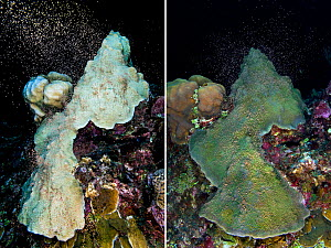 Two photos taken one year apart of the same colony of Mountainous star coral (Montastraea faveolata) spawning on both occasions, and recovering from bleaching due to thermal stress, East End, Grand Ca... - Alex Mustard