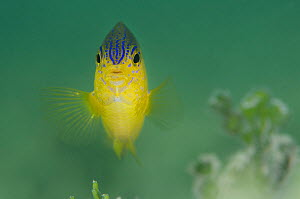 Portrait of a Beaugregory fish (Stegastes leucostictus) in shallow water, East End, Grand Cayman, Cayman Islands, British West Indies, Caribbean Sea.  -  Alex Mustard