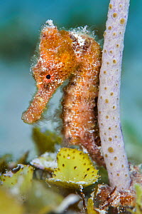 Portrait of a Longsnout seahorse (Hippocampus reidi) gripping onto a small Sea rod (Pseudoplexaura) with its prehensile tail, West Bay, Grand Cayman, Cayman Islands, British West Indies, Caribbean Sea...  -  Alex Mustard