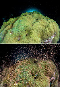 Two images of the same colony of Mountainous star coral (Montastraea faveolata) spawning at night on a coral reef showing the bundles of eggs and sperm before and after the synchronous spawning releas...  -  Alex Mustard