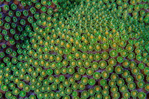 Close-up of a Mountainous star coral (Montastraea faveolata) preparing to spawn, East End, Grand Cayman, Cayman Islands, British West Indies. Caribbean Sea. - Alex Mustard