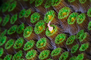 A Mountainous star coral (Montastraea faveolata) spawning at night, with gamete bundle being released from a coral polyp, East End, Grand Cayman, Cayman Islands, British West Indies, Caribbean Sea. - Alex Mustard