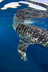 Two Whale sharks (Rhincodon typus) feeding on fish eggs at the surface, Isla Mujeres, Quintana Roo, Yucatan Peninsula, Mexico, Caribbean Sea.  -  Alex Mustard