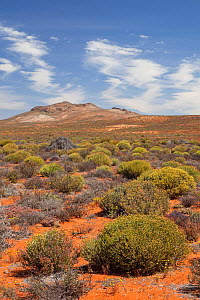 Landscape of succulent karoo / veldt habitat. Near Springbok, Namaqualand, South Africa, October 2012.  -  Chris Mattison