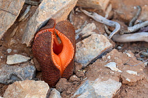 Flower of Hydnora (Hydnora africana) a rare plant parasitic on species of the genus Euphorbia. Cornellskop, Richtersveld, South Africa.  -  Chris Mattison