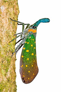 Lantern bug / Lantern fly (Pyrops sp.). Endemic to Sukau, Sabah, Borneo. - Chris Mattison