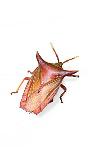 Shield bug (possibly Pygoplatys acutus). Danum Valley, Sabah, Borneo. - Chris Mattison