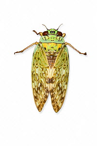 Cicada against white background. Endemic to Montagne D'Ambre, Madagascar. - Chris Mattison