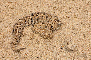 Namaqua dwarf / Schneider's adder, (Bitis schneideri) the world's smallest viper. Port Nolloth, South Africa.  -  Chris Mattison