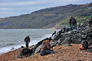 Palaeontologists and tourists looking for fossils on beach after landslide at the Black Ven between Lyme Regis and Charmouth along the Jurassic Coast, Dorset, UK, November 2012  -  Philippe Clement