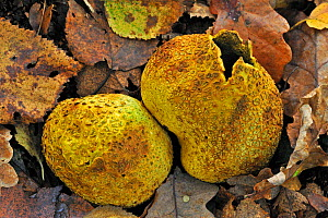 Common earthball fungus (Scleroderma citrinum) on the forest floor breaking up to release spores in autumn, Belgium, October  -  Philippe Clement