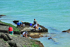 Men looking for shellfish for consumption, like mussels and periwinkles, among the rocks along the North Sea coast, Nord-Pas-de-Calais, France August 2012 - Philippe Clement