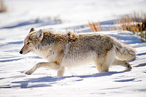 Male Coyote (Canis latrans) walking through deep snow. Hayden Valley, Yellowstone National Park, Wyoming, USA, February. - Nick Garbutt