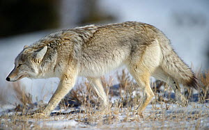 Male Coyote (Canis latrans) walking against the wind. Hayden Valley, Yellowstone National Park, Wyoming, USA, February. - Nick Garbutt