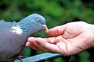 Wood pigeon (Columba palumbus) tame enough to eat peanuts from hand, Holloway, London Borough of Islington, UK  -  Pat  Tuson