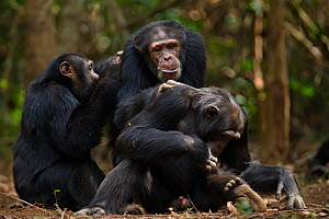 Western chimpanzee (Pan troglodytes verus)   males 'Jeje' aged 13 years, 'Tua' aged 53 years and 'Peley' aged 12 years grooming, Bossou Forest, Mont Nimba, Guinea. January 2011.  -  Anup Shah