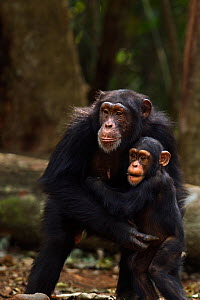 Western chimpanzee (Pan troglodytes verus)   female 'Fanle' aged 13 years and protecting her infant son 'Flanle' aged 3 years from an aggressive male, Bossou Forest, Mont Nimba, Guinea. January 2011.  -  Anup Shah