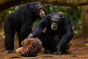 Western chimpanzee (Pan troglodytes verus)   female 'Jire' aged 52 years being groomed by alpha male 'Foaf' aged 30 years, whilst she feeds on palm oil fruit, Bossou Forest, Mont Nimba, Guinea. Januar...  -  Anup Shah