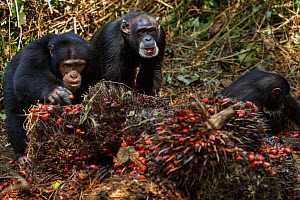 Western chimpanzees female 'Jire' aged 52 and her daughter 'Joya' aged 6 years and son 'Jeje' aged 13 years feeding on palm oil fruits stored by villagers, Bossou Forest, Mont Nimba, Guinea. December...  -  Anup Shah