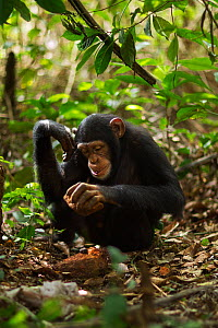 Western chimpanzee (Pan troglodytes verus)   juvenile female 'Joya' aged 6 years using rocks as tools to crack open palm oil nuts, Bossou Forest, Mont Nimba, Guinea. December 2010.  -  Anup Shah