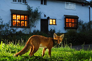 Red fox (Vulpes vulpes) in suburban garden at night. Kent, UK, August, taken with camera trap. Property released. Property released.  -  Terry Whittaker / 2020VISION